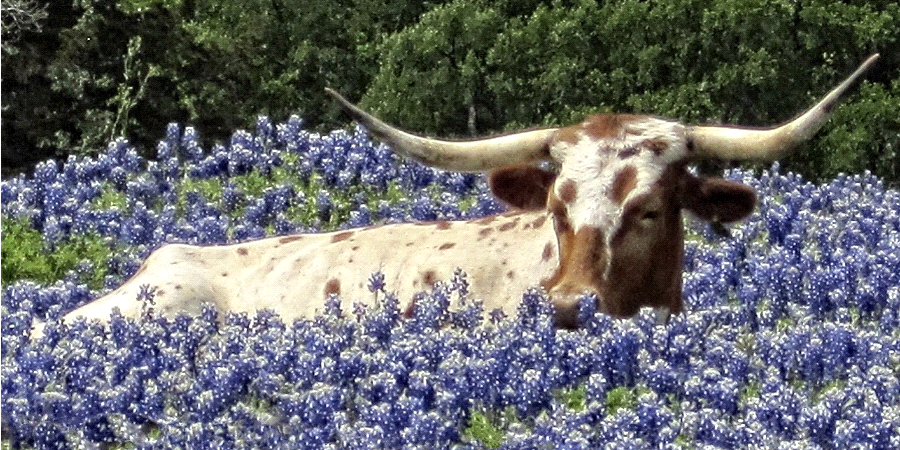 Steer in field of blue bonnets